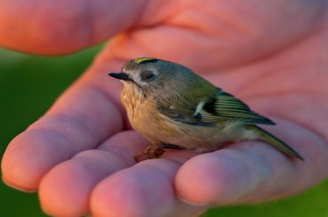 WLK170: The Goldcrest